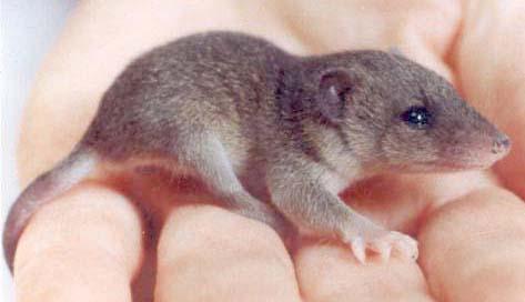 Lopossum : description, lieu de vie, alimentation